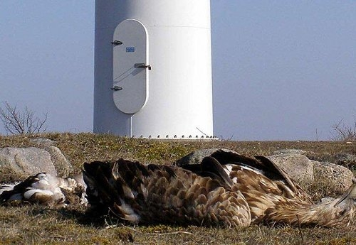 Eagle killed by Wind Turbine